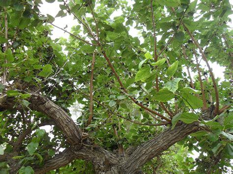 Top 28+ - Types Of Mulberry Trees - morus nigra black