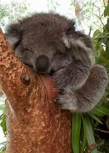 Sleeping Koala - GetLOLGetLOL