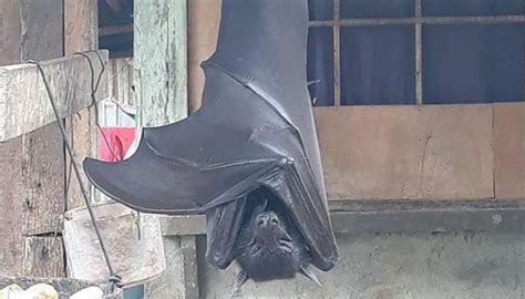 truth   human sized bat picture