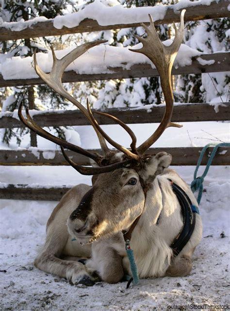 reindeer antler real reindeer antlers