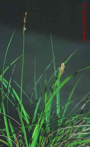 amaryllis treibt nur blätter allio stipetum capillatae