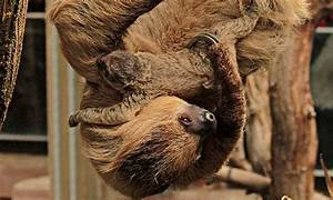 sloth baby surprises keepers at zoo environment