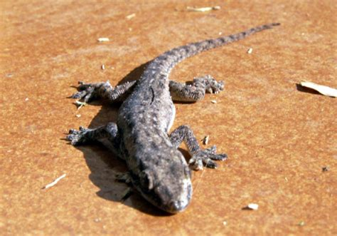 en chambre d hotes photos photo margouillat gecko margouillat 2742
