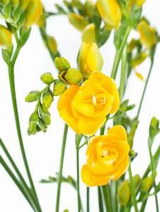 Blumen Im Juli : freesien soleil gelb bestellen blumigo ~ Lizthompson.info Haus und Dekorationen