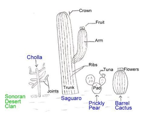 Diagram Of Saguaro Cactu by Sonoran Cacti Parts Of A Cactus School Science Nature