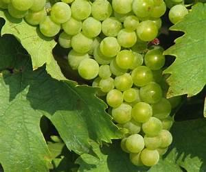 Achat Pied De Vigne Raisin De Table : raisin chasselas propri t s culture consommation ooreka ~ Nature-et-papiers.com Idées de Décoration
