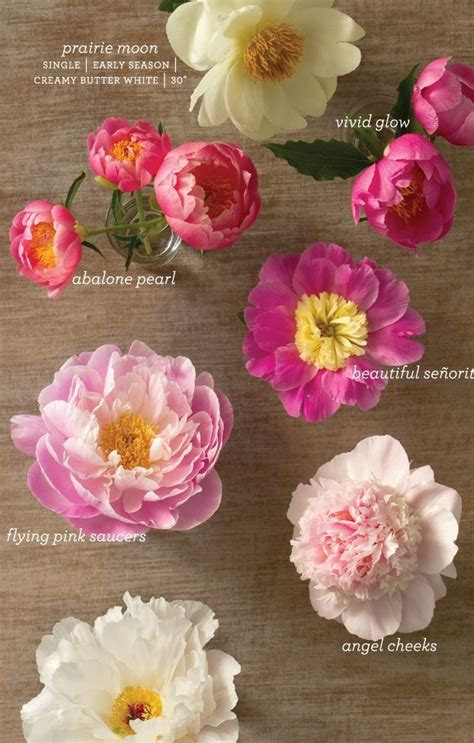 types of peony 70 best peonies just peonies images on pinterest pink peonies gardening and floral bouquets