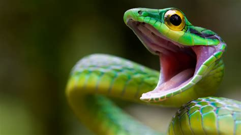 wallpaper satiny parrot snake snake green danger eyes