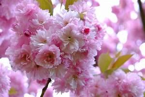 Aufbau Einer Kirschblüte : aufbau der kirschbl ten ausstellung im stadthaus foyer in bonn kirschbluete bonn ~ Frokenaadalensverden.com Haus und Dekorationen