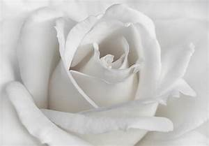 Purity Of A White Rose Flower Photograph by Jennie Marie