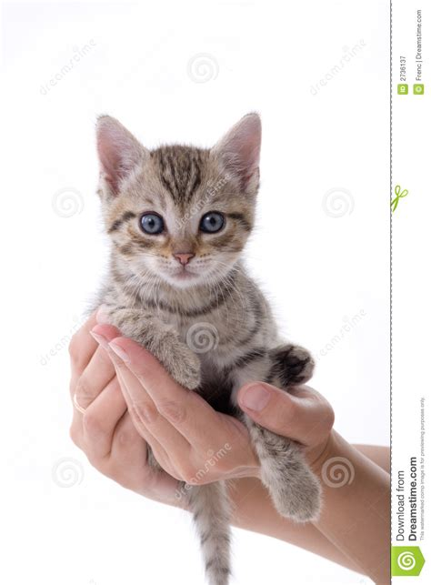hands holding  kitten royalty  stock photography