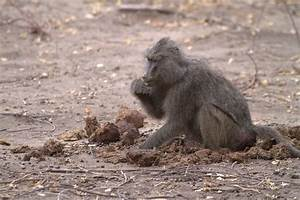 File:Baboon eating elephant dung.jpg - Wikipedia