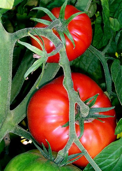 file tomatoes on the bush jpg wikimedia commons