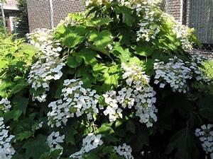 Immergrüne Kletterpflanzen Schattiger Standort : welche hortensie f r sehr schattigen standort seite 1 ~ Michelbontemps.com Haus und Dekorationen