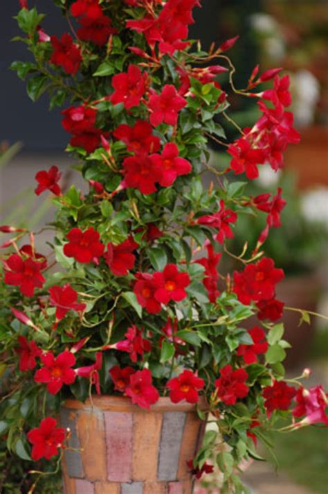 sun parasol mandevilla adds bright flowers  tropical