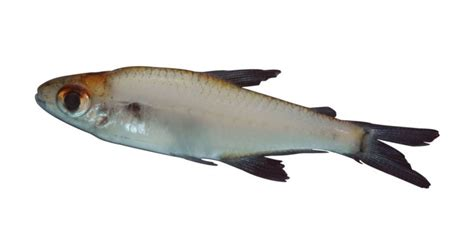 tropical fish aphyocharacidium