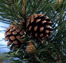 perfume project nw cinnamon pine cones