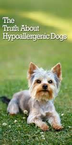 the itchy truth about hypoallergenic dogs