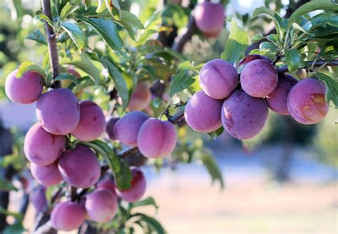 picture of plum tree santa rosa plums living in italy