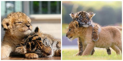 lion baby tiger cub animal ohmymag friends melted friendship hearts internet