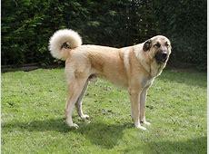 Anatolian Shepherd Dog Diet, Pictures, Breeding, Facts
