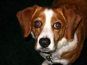 Beagle Dog Mix