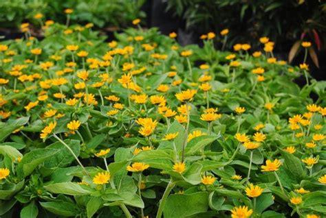 jual bibit tanaman hidup bunga matahari kecil  lapak
