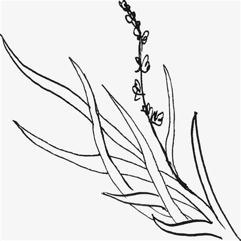 simple lavender drawing  getdrawingscom