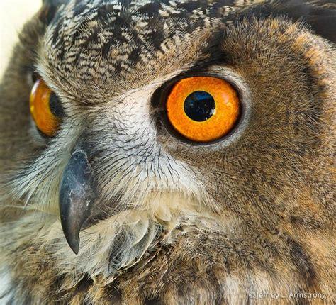 eurasian eagle owl bubo bubo  explore raptors facts