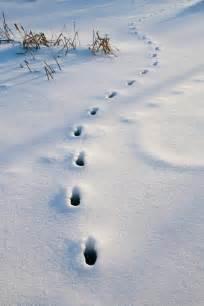 Animal Tracks Footprints in Snow