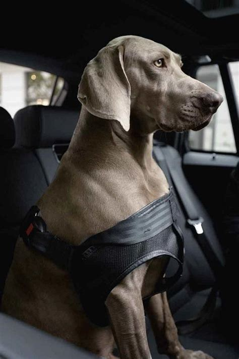Bmw Genuine Car Dog Pet Safety Seat Belt Harness Medium