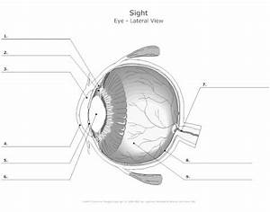Parts Of The Eye  Anatomy Honors Required