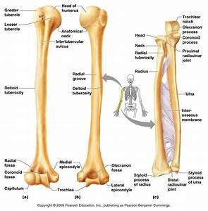 humerus, radius, ulna | anatomy & physiology | pinterest