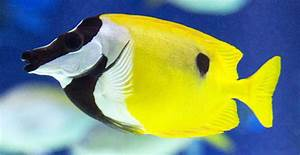 The Foxface Rabbitfish. Some Interesting Information On ...