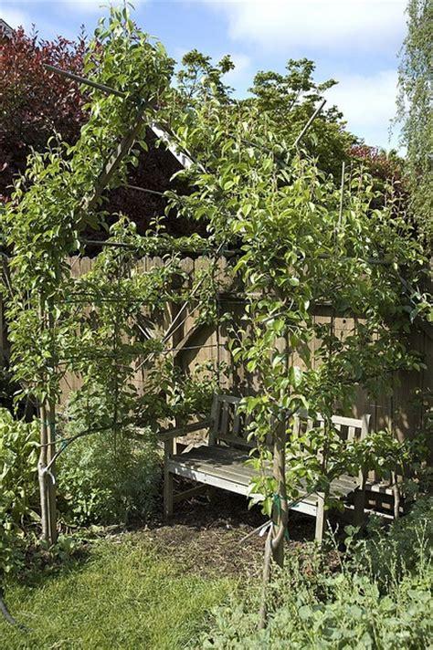 pear espalier 226 best images about training fruit trees and espalier on pinterest trees pears and prune fruit