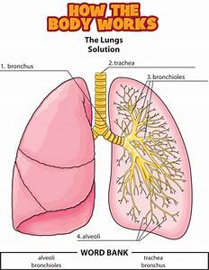 Answers  The Lungs