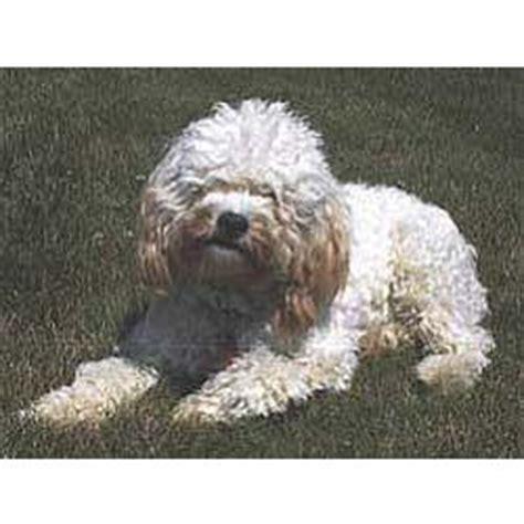 cockapoo puppies  sale  reputable dog breeders