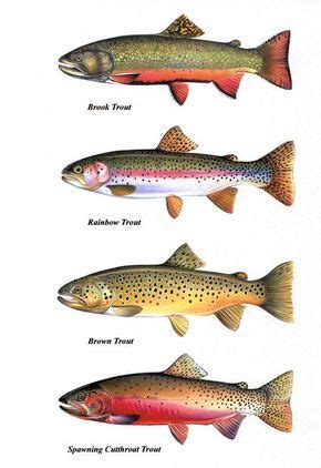 types  trout fish  pictures fish
