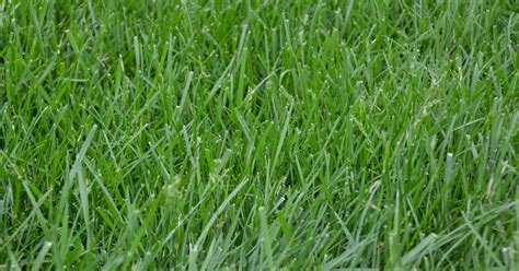 fescue grass all you need to know about kentucky 31 tall fescue