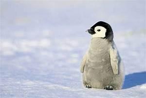 cute baby penguin | animals | Pinterest