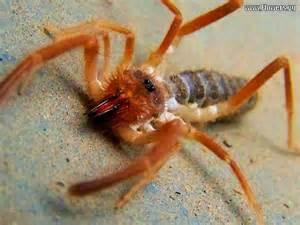 Sand Camel Spider