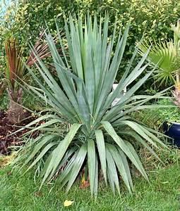 Yucca Palme Winterhart : elarbolmiamigo encinarosa yuccas yucca elephantipes ~ A.2002-acura-tl-radio.info Haus und Dekorationen