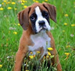 Facts About Boxers Dogs