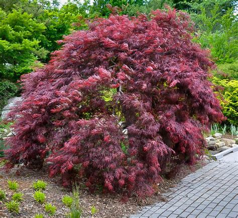 weeping japanese maple varieties japanese maple red weeping inaba shidare 12 quot pot hello hello plants garden supplies