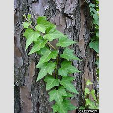 English Ivy Hedera Helix (apiales Araliaceae