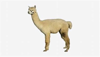 Alpacas Watership Arabian Camel Introduction Nicepng
