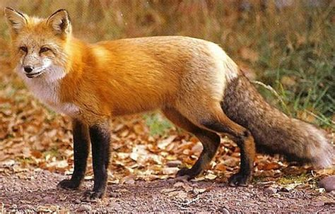red fox  distributed clever canine animal