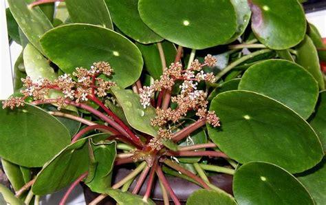 Zimmerpflanzen Datenbank Kanonierblume by Unbekannte Zimmerpflanze Schaut Aus Wie Eine Dotterblume