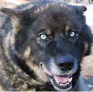 White Wolf Dog Hybrid ...