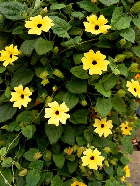 yellow flower vines pictures 5 gorgeous climbing vines to plant for a flowing bohemian chic container garden sun plants
